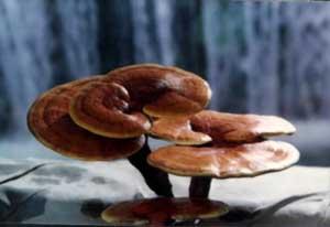 Reshi-Mushroom